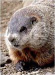 closeup_groundhog
